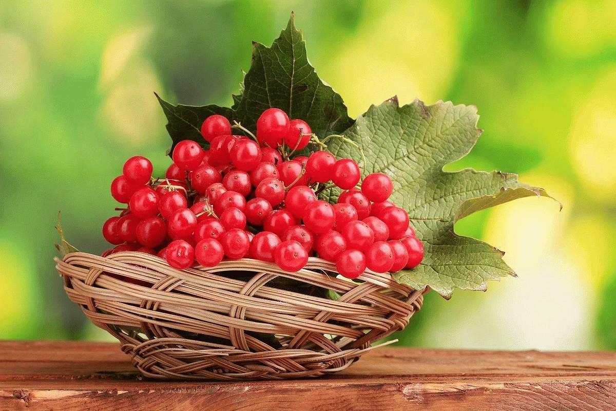 Калина и давление повышает или понижает ягода показатели тонометра и как правильно ее употреблять