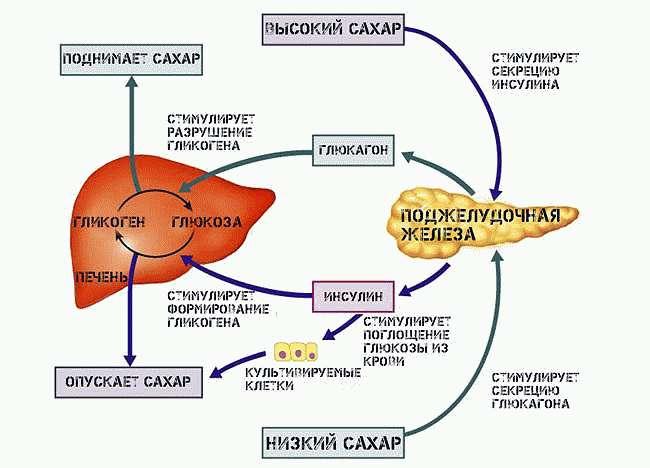 Выработка инсулина и глюкагона