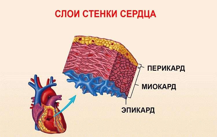 Слои сердечной мышцы
