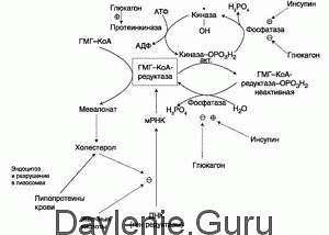 Фермента ГМГ-КоА-редуктазы