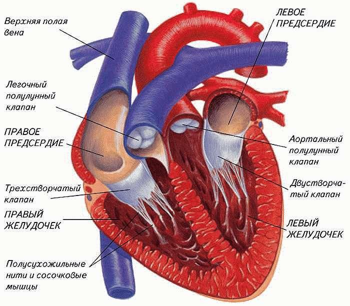 Устройства сердца