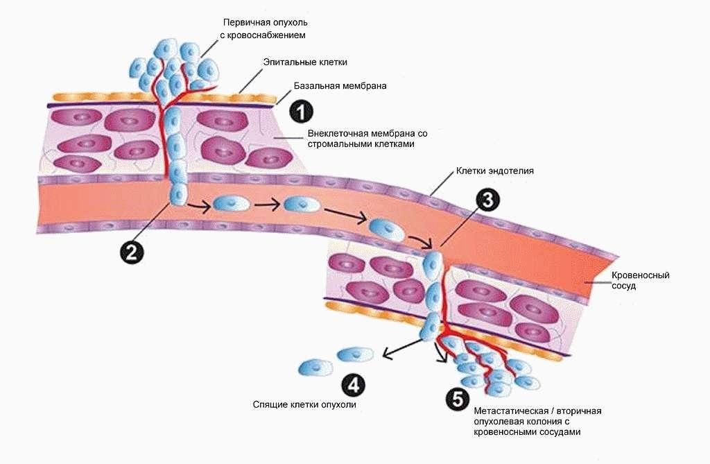 Базальная мембрана эпидермиса