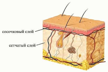 Сосочковый и сетчатый слой дермы