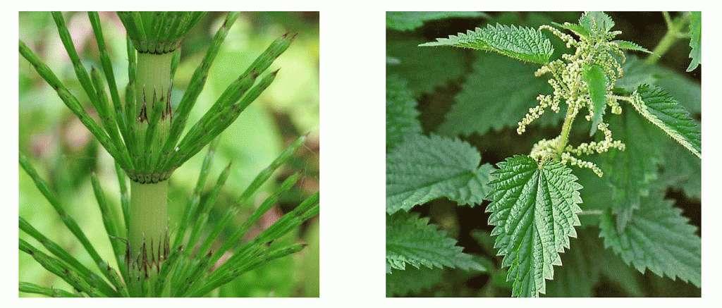 Стебли полевого хвоща и листья крапивы