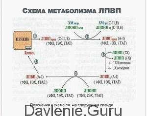Синтез ЛПВП