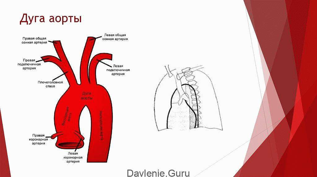 Аортальная дуга