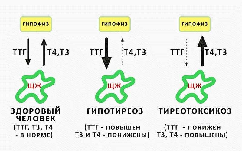 ттг при нормальном т4 и т3